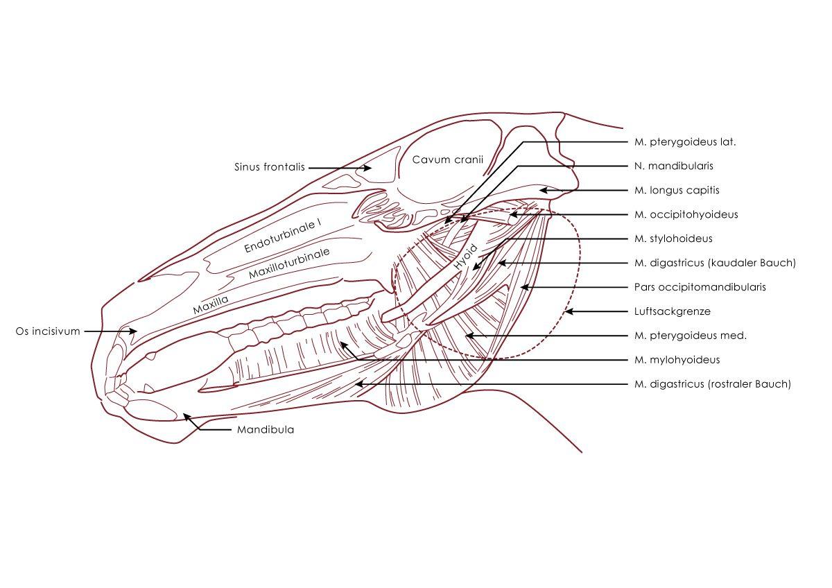 Anatomie des Pferdes | Sven Geske - Illustrator & Coach